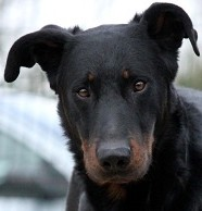 elevage-beauceron-Var-elite.jpg