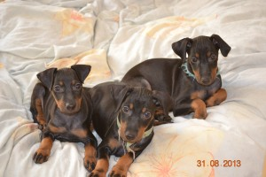 Chiots-manchester-terrier-prix-reservation